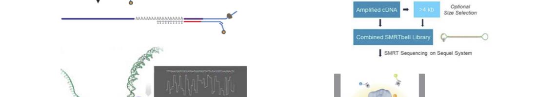 Benchmarking Crop Direct RNA sequencing versus full length IsoSeq