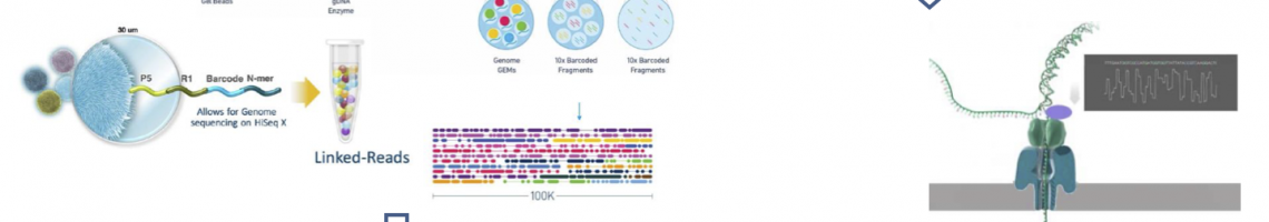 Improving genome assemblies by combined 10XGenomics and nanopore technology